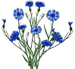 Василек цветок картинка для детей 7